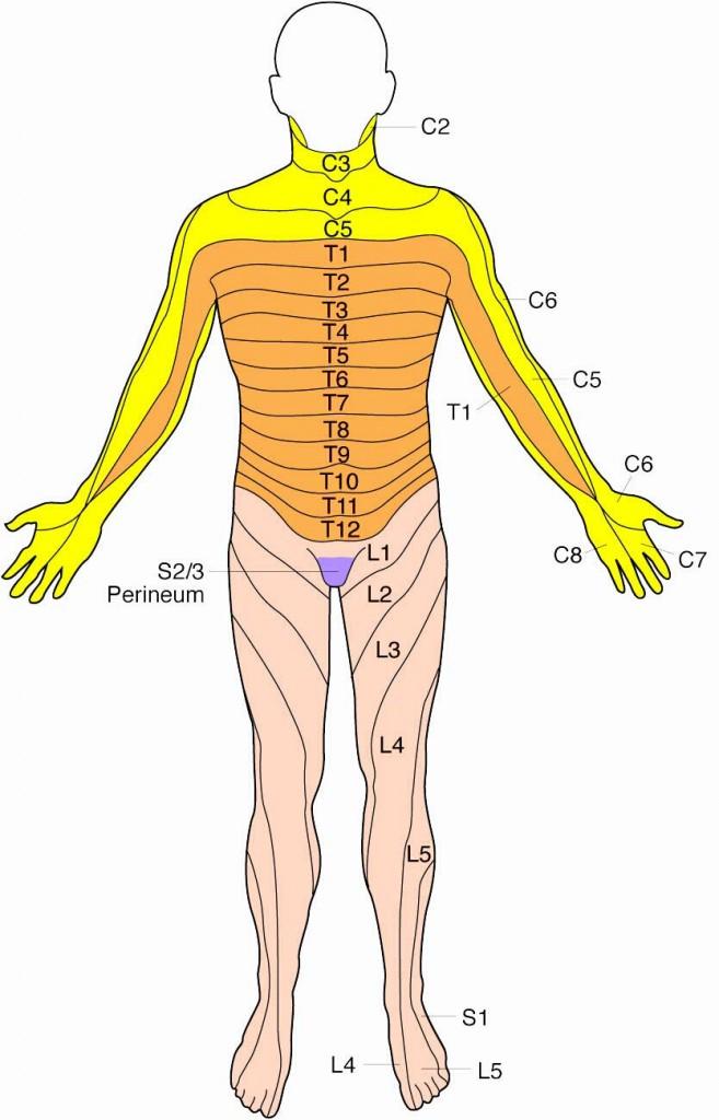 Dermatome-Anterior-Lge